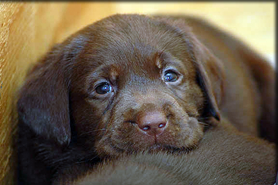 Chocolate Labrador Puppies on Kenyalabradors Com Chocolate Lab Puppies Images Chocolate Lab Pup Jpg