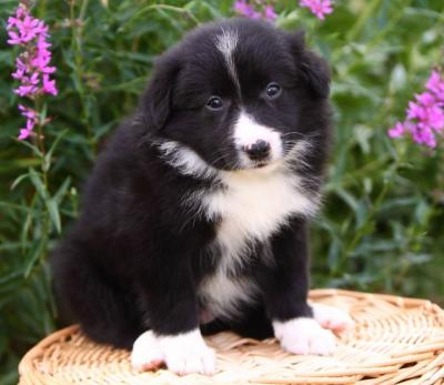 Border Collie Puppies on Cute Border Collie Puppies For Free Adoption 4c3f1247b4993d27d2000e3f9